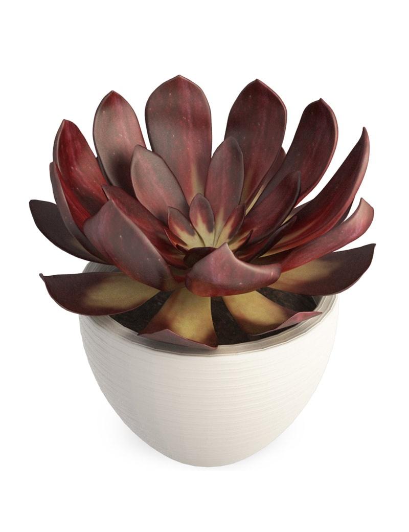 plante grasse d 39 int rieur echeveria en 3d t l charger. Black Bedroom Furniture Sets. Home Design Ideas